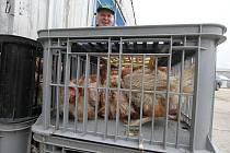 Chovatelé slepic houfně vyrazili za prodejní nabídkou do Dynína.