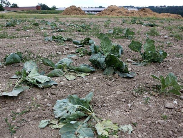 Zničené zelné pole v Roudném.