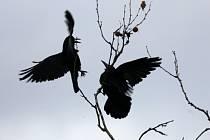 Typický pták jihočeské metropole, havran polní přilétl na své hnízdní kolonie v korunách stromů u Rabenštejnské věže v Českých Budějovicích.