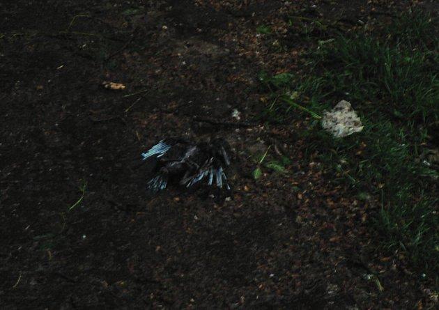 V samotném městě jinak průtrž mračen výraznější škody nenapáchala. Na snímku mrtvé mládě havrana, které vypadlo při bouřce z hnízda v Českých Budějovicích v parku Na Sadech.