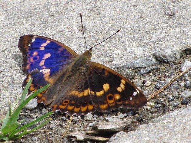 Jedním z živočichů, který si oblíbil hodějovické odkaliště, je i motýl batolec červený.