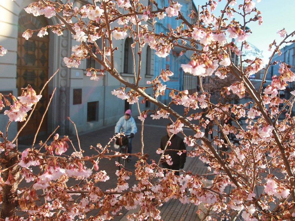 Rozkvetlá sakura na Lannově třídě.