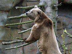 Medvěd Altaj se po měsíční karanténě přestěhoval do výběhu v Zoo Ohrada.