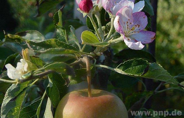 Plodí a kvete: hříčka přírody?