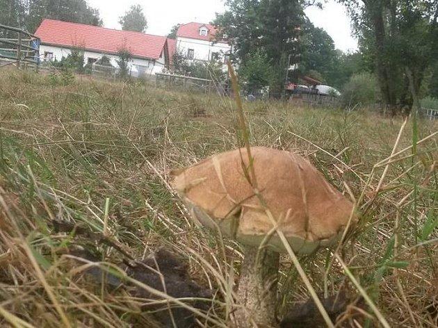 Jen pár kroků stačilo Ctiboru Davidovi k tomu, aby si domů odnášel první letošní houbařský úlovek.