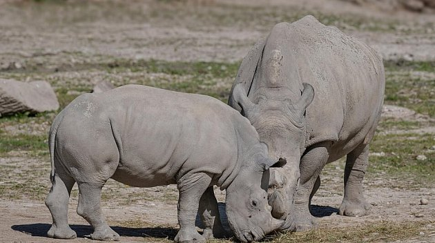 Nosorožci usousedů se mají ksvětu.