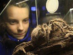 Sklípkany představuje nyní Zoo Ohrada. Návštěvníci se na výstavě dozví i něco o jejich zvláštním způsobu života, nebezpečném jedu a dlouhé výdrži bez jídla.