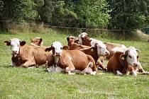 Stáda skotu jsou na jihu Čech menší než vloni. Farmáři se zbavují hlavně dojnic a zaměřují se na chov masných plemen.