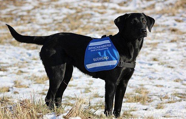 Labradorka sbírá DNA zvěře.