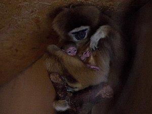 Gibonek je prvním letošním mládětem v Zoo Dvorec