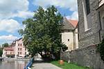 Lípa rostoucí v Českých Budějovicích u slepého ramene Malše je finalistkou ankety Strom roku České republiky 2020. Na místě rostou těsně u sebe dva stromy.