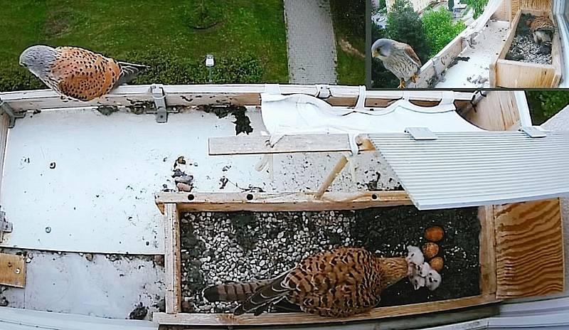 Poštolky zahnízdily v truhlíku na parapetu v 6. patře paneláku. 21. května byla vylíhlá čtyři mláďata.