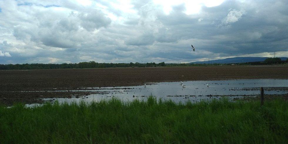 Práce na polích letos více než v jiných letech komplikují deště. Místy se vytvořily i malé rybníčky, které hbitě obsadilo vodní ptactvo. Na snímku pole u Dasného.