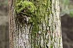 Duch stromový 29 - čumáček mecháček