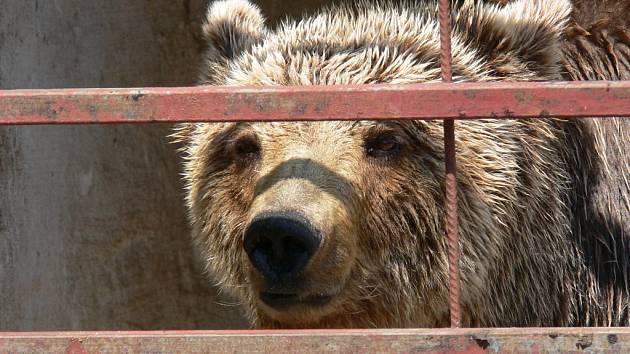 Medvědice Ajrin
