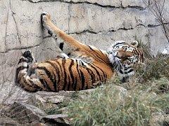 Oliver, tygr ussurijský, patří mezi největší lákadla Zoologické zahrady Ohrada u Hluboké nad Vltavou. Ta se loni stala třetím nejnavštěvovanějším turistickým cílem v jižních Čechách.