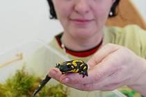 Ošetřovatelka Majka Zigová ze Zoo Ohrada ukládá mloka skvrnitého do plastové krabičky vyložené vlhkým mechem. V ní obojživelník prospí zimu.