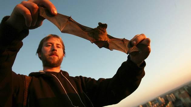 Netopýr rezavý dorůstá velikosti až deset centimetrů a mezi netopýry patří k větším druhům. Do Čech přilétají podle odborníků zimovat severské populace například z Pobaltí.