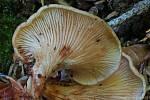 Našli ji po 44 letech, houbovou Venuši...