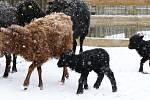 Nové přírůstky v ZOO Ohrada, ovce ouessantská.