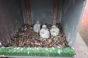 Sokolí mláďata na komíně teplárny ve Vrátě.