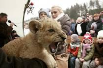 Návštěvníci Zoo Dvorec měli v neděli jedinou možnost lvíče vidět. Mládě se přestěhuje do Terária Praha.