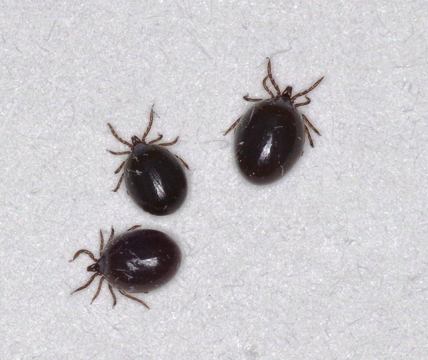 Blood-fed nymphs-nymfy klíštětě, tedy vývojové stádium klíštěte (vajíčko, larva, nymfa, dospělec).