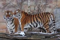 V sobotu 20. května se tygří pár Altaica a Oliver dočkal potomka. Je to vůbec první tygr, který se narodil v hlubocké zoo.