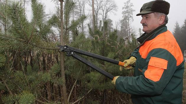Proti krádežím se lesníci stromky snaží uchránit například prostřihem některých větví.