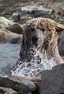 Koupel si rád dopřává medvěd Altaj ze Zoo Ohrada. Jedná se o medvěda plavého, vzácný poddruh medvěda hnědého. Zoo ho získala v srpnu 2014 z Ruska.