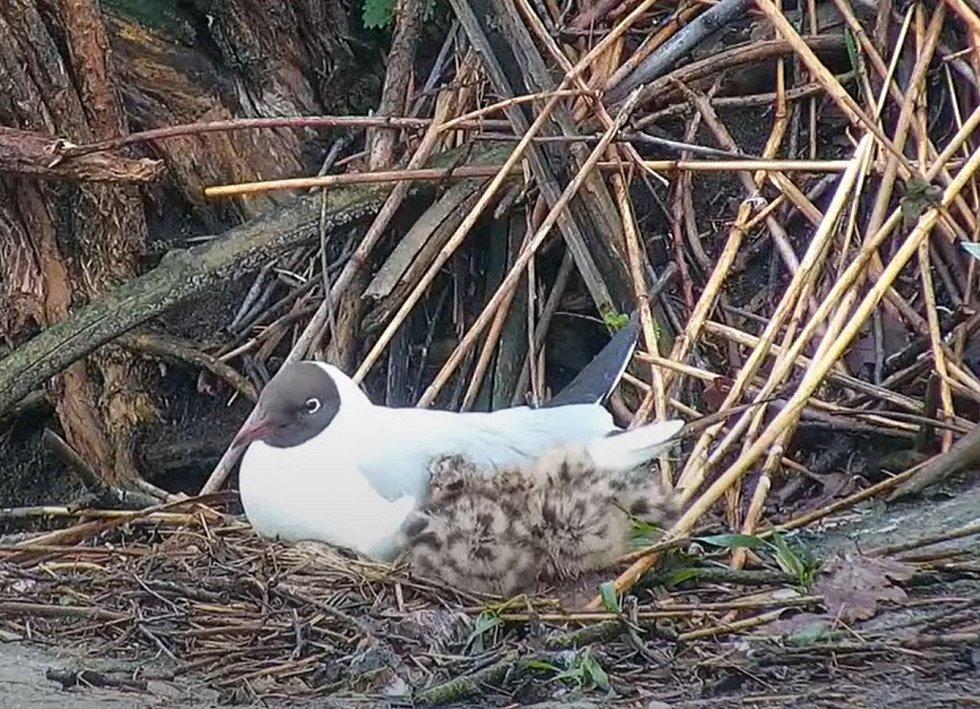 Pomocí webkamer může nahlédnout přímo do hnízd v kolonii racků chechtavých na Vrbenských rybnících.