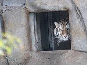 Samička tygra ussurijského Altaica poprvé nahlížela do nového výběhu. Zoo Ohrada zvíře získala v prosinci 2014 ze Švédska.
