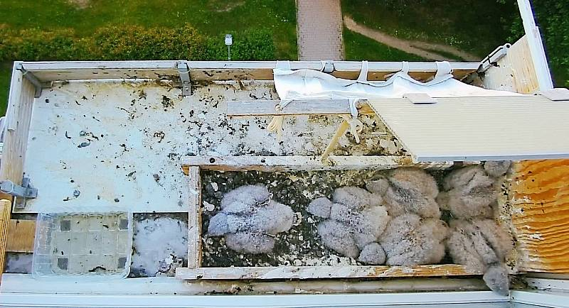 Poštolky zahnízdily v truhlíku na parapetu v 6. patře paneláku. Mláďata 4. června.