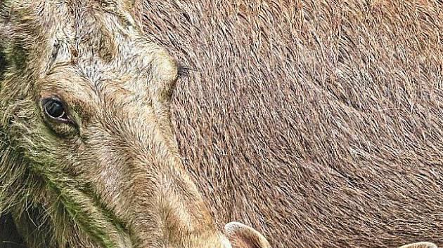 Malý los z Bavorského lesa se má k světu.