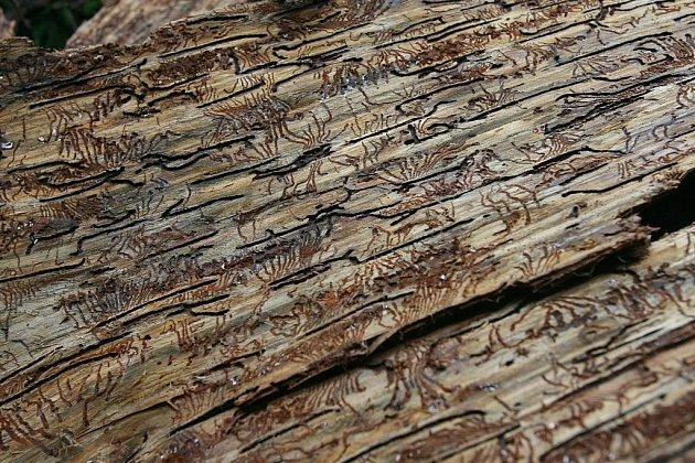 Odkorňování kůrovcem napadených stromův I. zóně národního parku na šumavské Smrčině vrcholí. Do pátku budou práce hotové. Od začátku června se ve zdejším lese vystřídalo kolem padesáti lidí. Odkornili k tisícovce stromů. Práce zde musejí být hotové včas,
