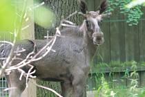 Losa evropského získali Jihočeši z chovu pražské zoo. Sameček jménem Brutus se narodil v loňském roce na odloučeném pracovišti v Dolním Dobřejově.