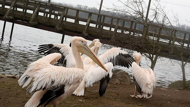 Ze zimoviště zpět do venkovního výběhu se přestěhovali pelikáni bílí v Zoo Ohrada u Hluboké nad Vltavou.