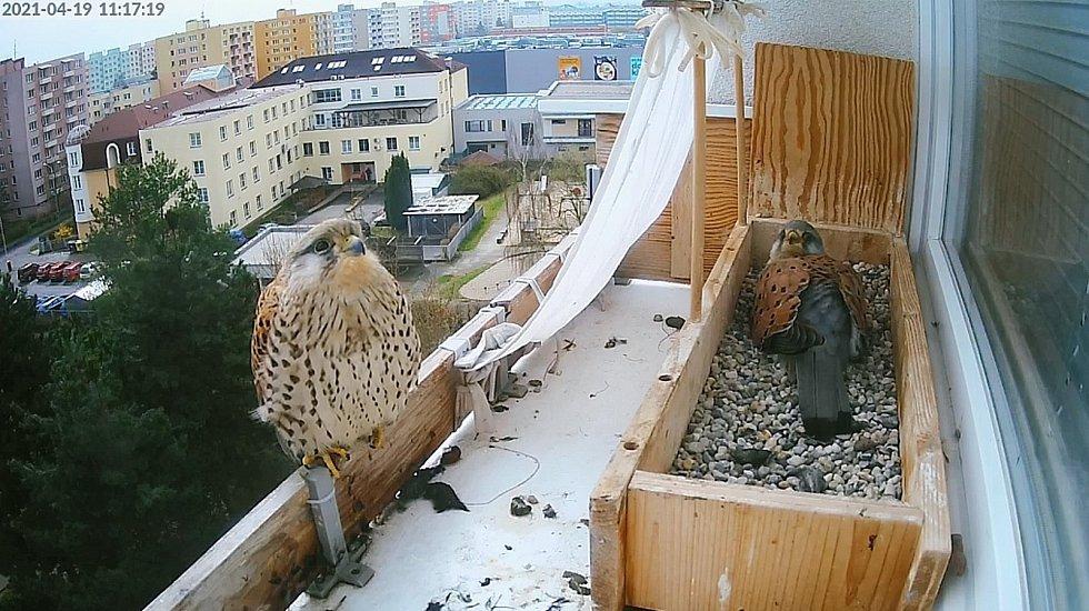 Poštolky zahnízdily v truhlíku na parapetu v 6. patře paneláku. Na vejcích seděl i sameček.