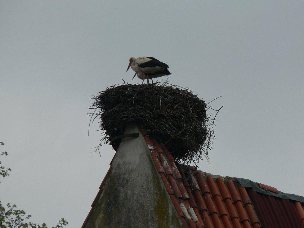 Čápi na hnízdě v Dubném. Ilustrační foto.