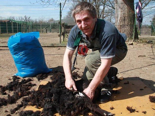 Antonín Vejčík při stříhání ovcí v Zoo Ohrada.