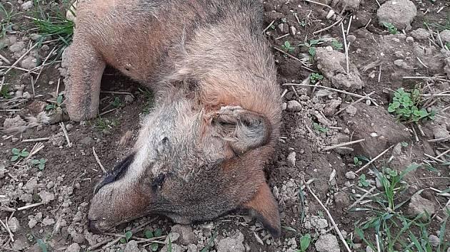 Uhynulý vlk z Innviertlu.