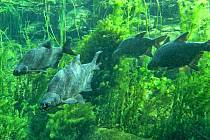 Cejn velký (Abramis brama) je jedním z nejběžnějších druhů ryb v nádrži Římov.