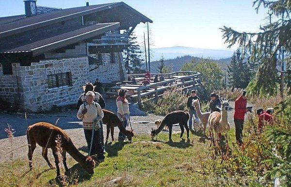 Alpaky ba bavorském vršku.