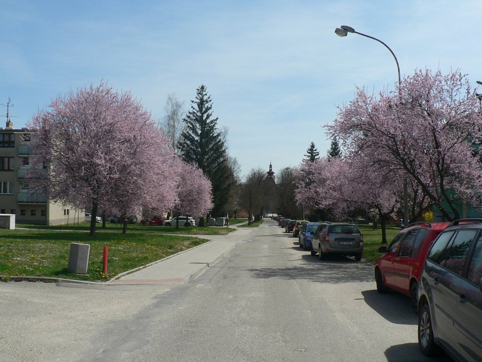 Kvetoucí stromy v regionu se letos o něco zpozdily oproti loňsku. Ale bylo alespoň dost rozkvetlých třešní na 1. máje. V Trhových Svinech třeba sakury.