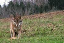 Vlk možná z obory?