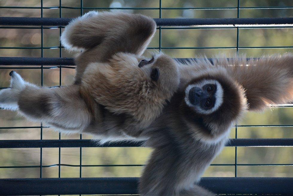 V rodině gibonů v Zoo Dvorec oslavili dvoje narozeniny.