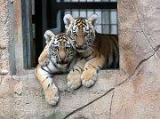 Ussurijští tygříci poprvé ve výběhu v zoo Ohrada
