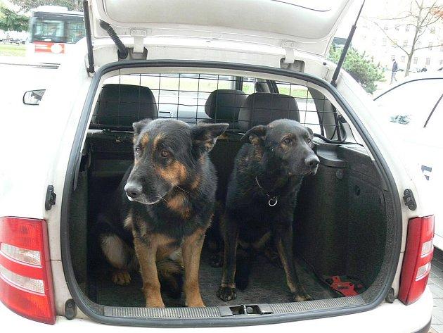 Ovčáci Kobi (vlevo) a Vito slouží u policie v Českých Budějovicích. Dopadli už nejednoho lumpa.