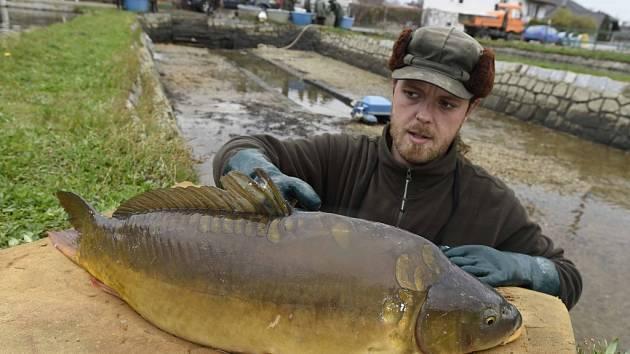 Amurský lysec. Nové rybí plemeno je odolnější vůči nemocem. Zamíří i do prodeje.