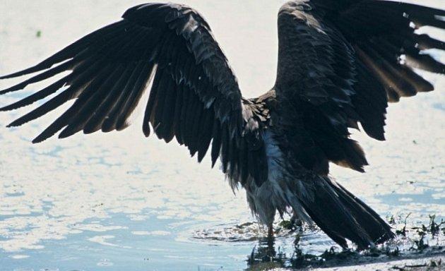 Orel mořský se vrací kDunaji.